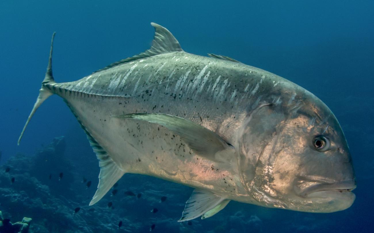 Info Spesies Kenali Ikan Gerepoh Umpan
