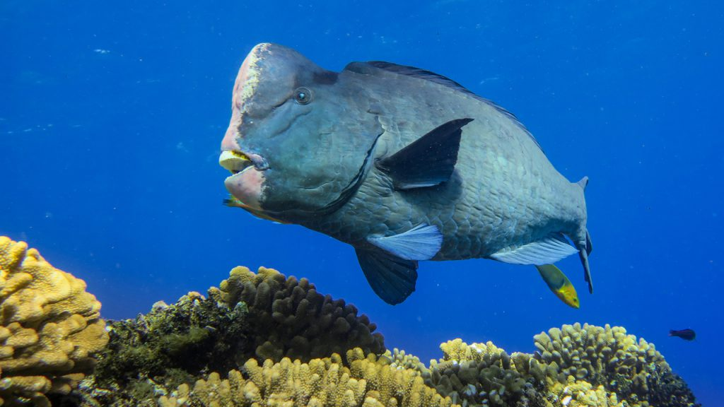 Info spesies: Keluarga ikan bayan / ketarap - Umpan