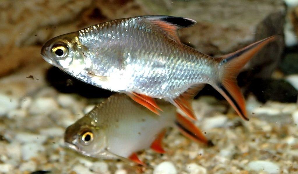 Profil Ikan Lampam Ekor Merah Umpan