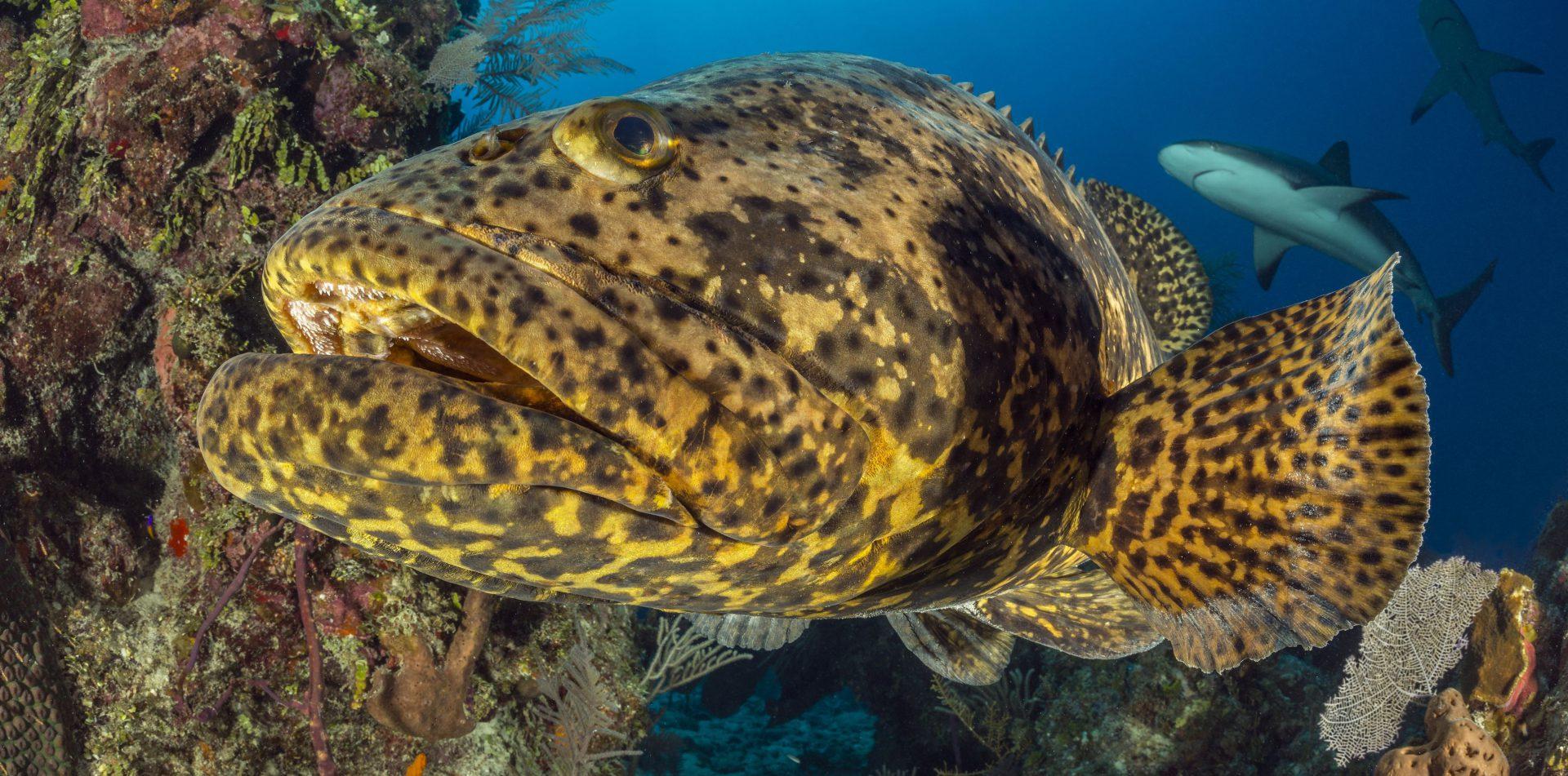 Kenali Keluarga Ikan Kerapu - Umpan