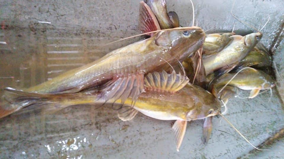 Kenali Ikan Baung - Umpan