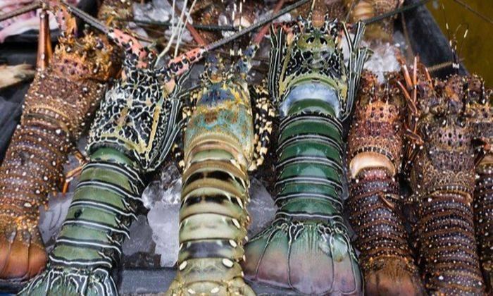 Kenali Famili Lobster Udang Kara Umpan