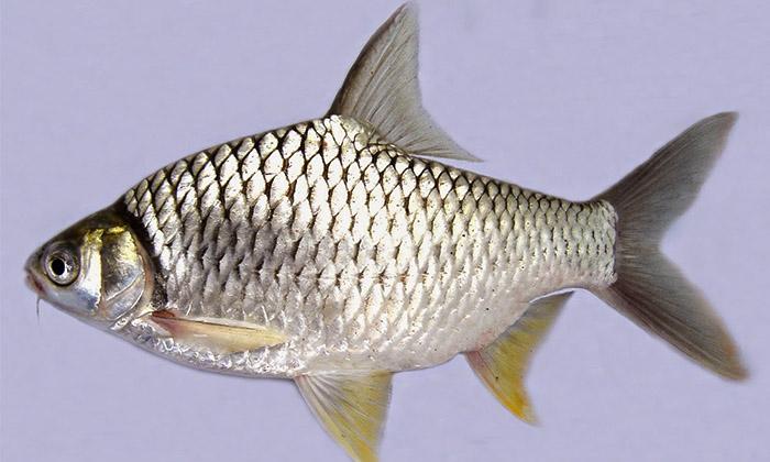 Mengenal Keluarga Ikan Lampam Umpan