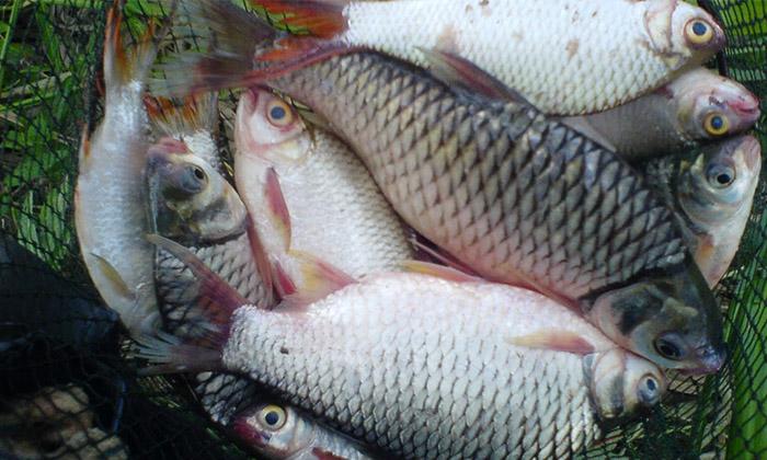 Renjer Sungai Info Tentang Ikan Lampam