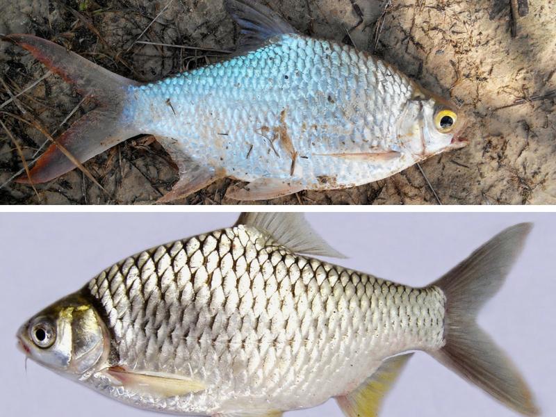 Info Spesies Perbezaan Lampam Sungai Lampam Jawa Umpan